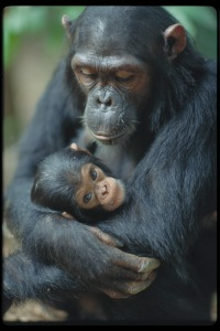 This chimpanzee gave birth too. It's nothing new to royalty.